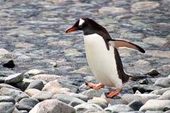 Perfil del pingüino de Gentoo Imagen de archivo libre de regalías