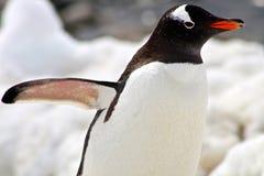 Perfil del pingüino de Gentoo Fotos de archivo libres de regalías