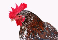 Perfil del pollo Foto de archivo libre de regalías