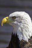 Perfil del primer de la cabeza del águila calva Foto de archivo libre de regalías