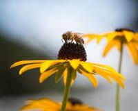 Perfil del primer del polen de la abeja Foto de archivo libre de regalías