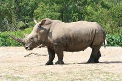Perfil del rinoceronte Imagen de archivo libre de regalías