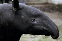 Perfil del Tapir Fotografía de archivo libre de regalías