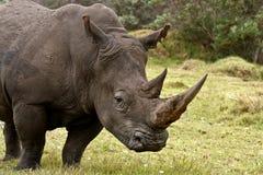 Perfil del varón de Rinoceros Imagenes de archivo