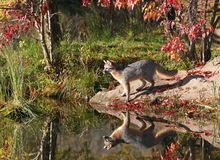 Perfil del zorro gris Imagen de archivo