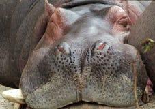 Perfil dianteiro do hipopótamo do sono Imagem de Stock Royalty Free