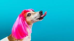 Perfil divertido del perro en peluca rosada en la lamedura azul del fondo imágenes de archivo libres de regalías
