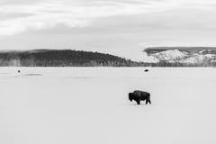 Perfil do bisonte Fotografia de Stock