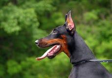 Perfil do cão do Doberman Fotografia de Stock Royalty Free