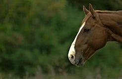 Perfil do cavalo Fotografia de Stock Royalty Free