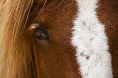 Perfil do cavalo Fotos de Stock Royalty Free