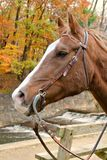 Perfil do cavalo da queda Foto de Stock Royalty Free