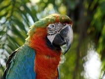 Perfil do close up da arara colorida do arlequim Fotos de Stock