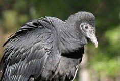 Perfil do close up de um abutre preto Fotografia de Stock Royalty Free