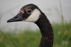Perfil do close-up do ganso canadense foto de stock