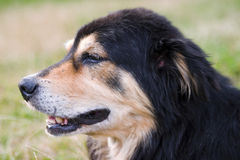 Perfil do cão adulto Fotos de Stock