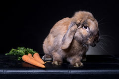 Perfil do coelho de coelho de Brown com cenouras Imagem de Stock Royalty Free
