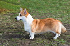 Perfil do corgi de Galês do casaco de lã Foto de Stock