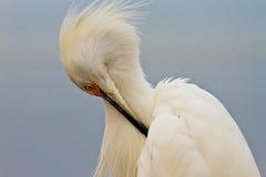 Perfil do Egret nevado Fotografia de Stock Royalty Free