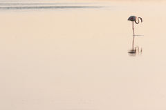 Perfil do flamingo fotografia de stock