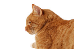 Perfil do gato Fotografia de Stock Royalty Free
