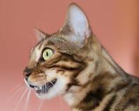 Perfil do gato de Bengal Fotos de Stock