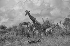 Perfil do girafa que anda o branco preto fotografia de stock