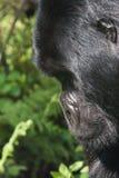 Perfil do gorila Foto de Stock