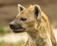 Perfil do Hyena Foto de Stock