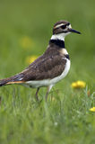 Perfil do Killdeer na chuva fotografia de stock royalty free