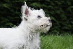 Perfil do lado do filhote de cachorro de Westie Fotos de Stock