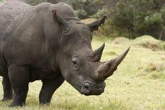 Perfil do macho de Rinoceros Fotografia de Stock