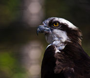 Perfil do Osprey Foto de Stock Royalty Free