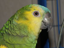 Perfil do papagaio fotografia de stock royalty free