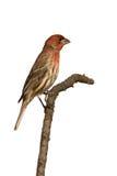 Perfil do passarinho de casa que senta-se em uma filial Fotos de Stock Royalty Free
