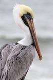 Perfil do pelicano Fotografia de Stock