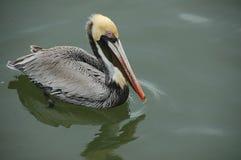 Perfil do pelicano de Brown Imagem de Stock Royalty Free