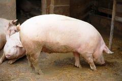 Perfil do porco fotografia de stock royalty free