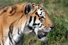Perfil do tigre Imagens de Stock