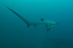 Perfil do tubarão de debulhadora Fotos de Stock
