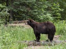 Perfil do urso Imagens de Stock