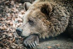 Perfil do urso marrom selvagem Fotos de Stock Royalty Free
