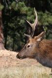 Perfil dos alces de Bull Fotografia de Stock Royalty Free