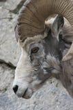Perfil dos carneiros de Bighorn (Ram) Imagens de Stock