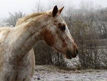 Perfil esquerdo de um cavalo branco com alguns remendos marrons imagens de stock