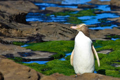 Perfil Eyed amarillo del pingüino foto de archivo
