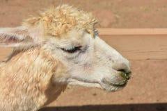Perfil hermoso de un añal de la alpaca Foto de archivo libre de regalías