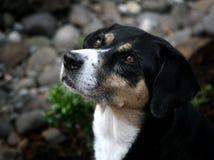 Perfil hermoso del perro Imágenes de archivo libres de regalías