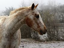 Perfil izquierdo de un caballo blanco con algunos remiendos marrones Imagenes de archivo
