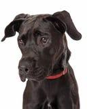 Perfil joven del perro perdiguero de Labador del chocolate Imagenes de archivo